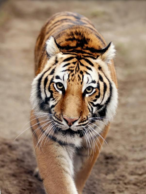 Tigers are Very Cool Indeed.